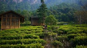 tea-garden-170589_1280